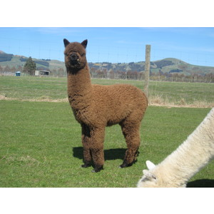 Bundle of 5 Young Alpaca White & Light Fawn Males
