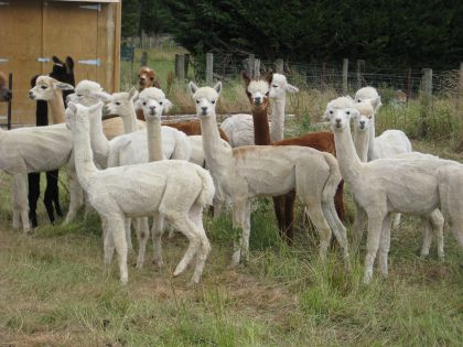 AlpacaBundle1