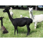 Francesca and female cria