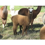 Bundle of Mixed Colour Young Alpaca Females
