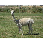 ALPACA FEMALE - PREGNANT and due next season.