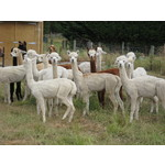 Five Alpaca Male Package - Older Boys